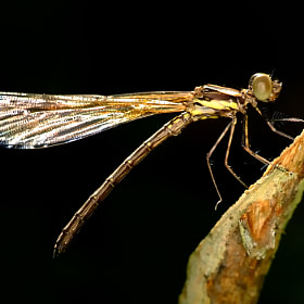 Damselfly With Black Background