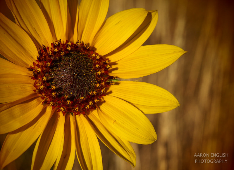 Photograph Last of the Sunflowers by Aaron English on 500px