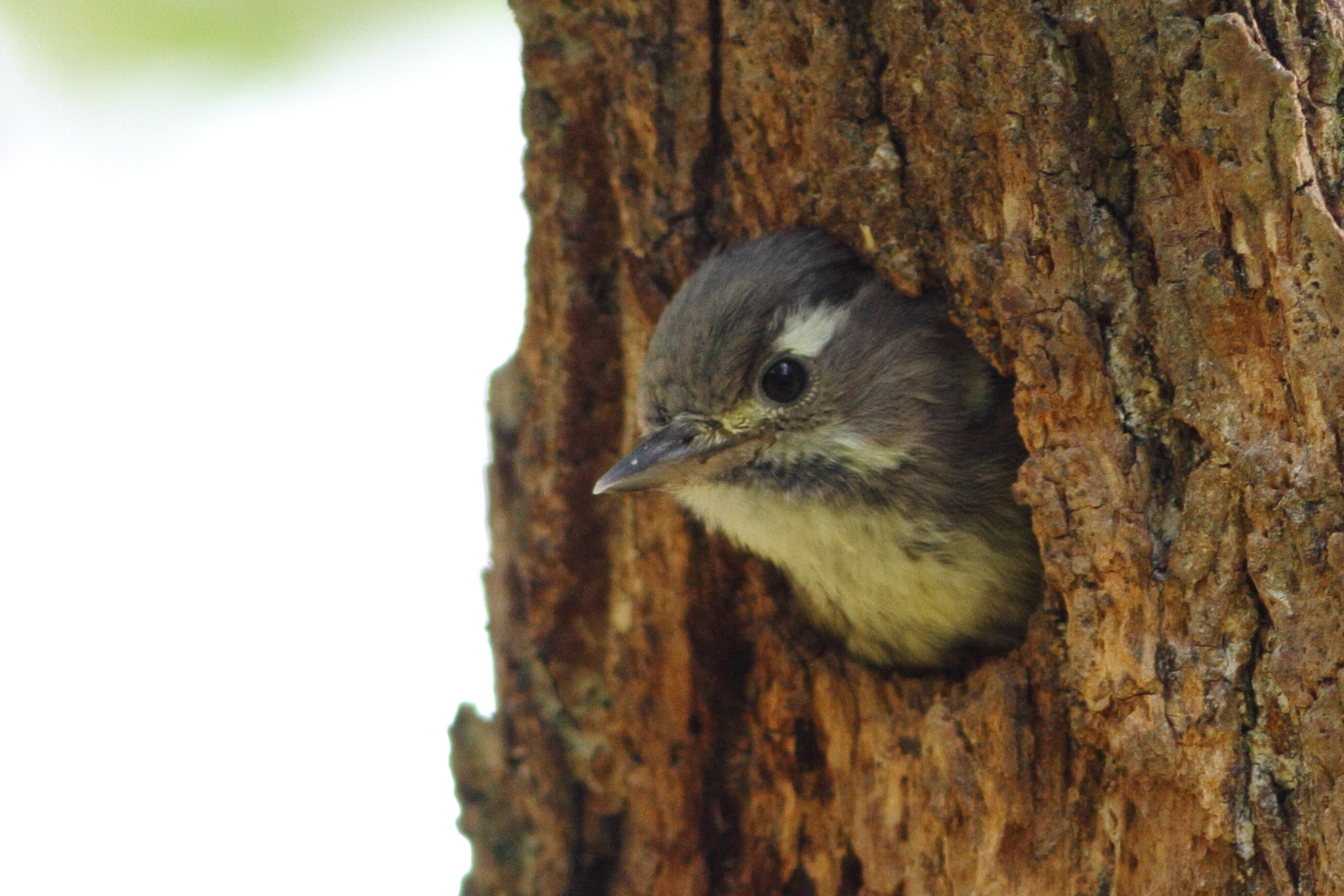 Photograph Child of the pygmy woodpecker by Yellow Monkey on 500px