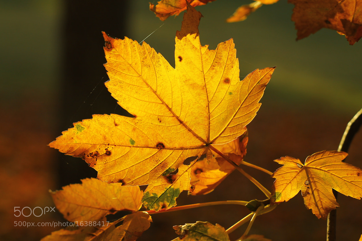 Photograph Golden Autumn by Manuel Stolle on 500px