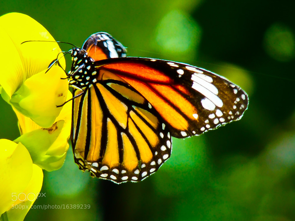 Photograph Beautyfly by Girinath G on 500px