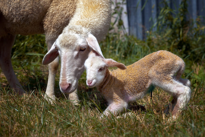 Sheep and lamb, mother and son together.