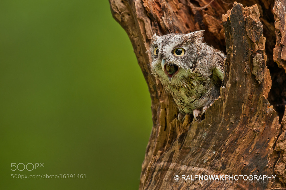 Photograph Screech Owl expelling a pellet by Rafal Nowak on 500px