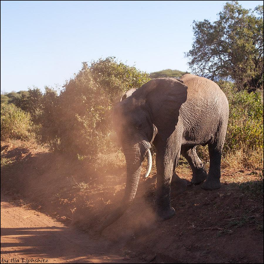 Elephant,  Lake  Manyara. №2