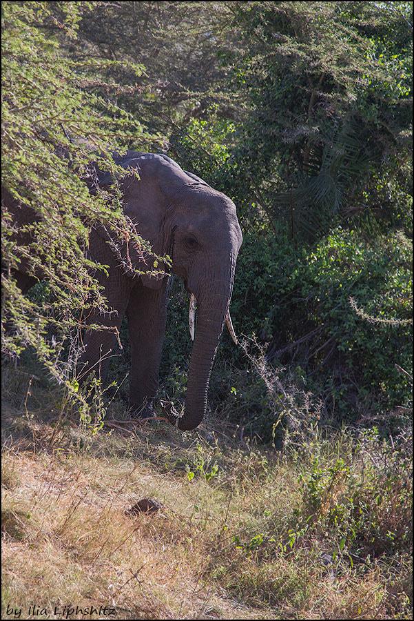 Elephant,  Lake  Manyara. №1