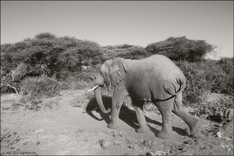 Elephant,  Lake  Manyara. №3
