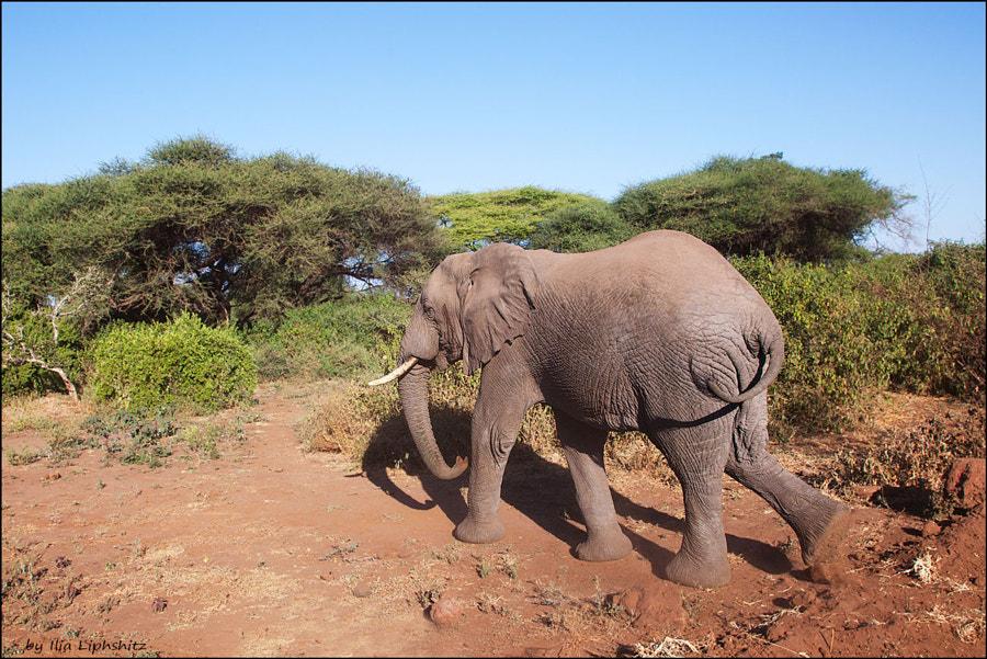 Elephant,  Lake  Manyara. №4