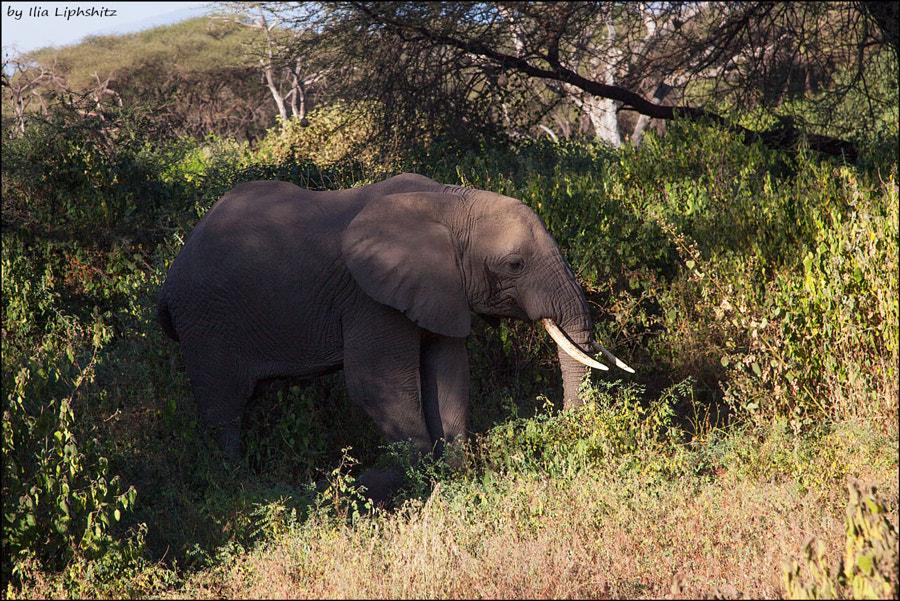 Elephant,  Lake  Manyara. №5