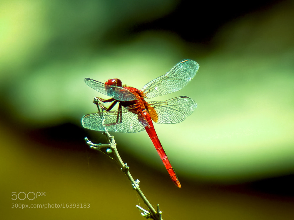 Photograph Red Dragonfly by Girinath G on 500px