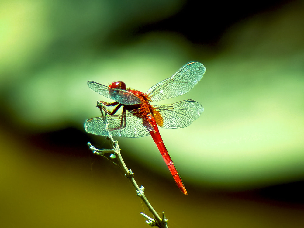 Photograph Red Dragonfly by Girinath.G (GG)  on 500px