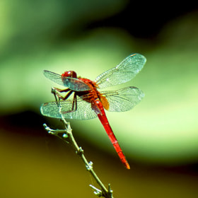 Red Dragonfly by Girinath G (giriativity)) on 500px.com