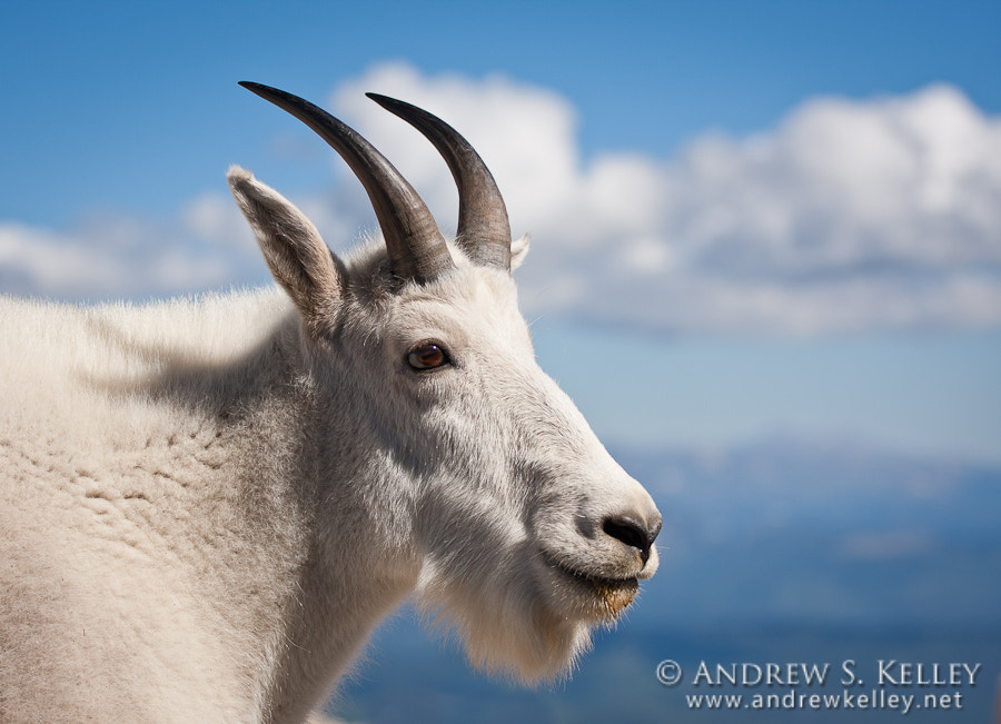 Photograph Mountain Goat Portrait by Andrew Kelley on 500px