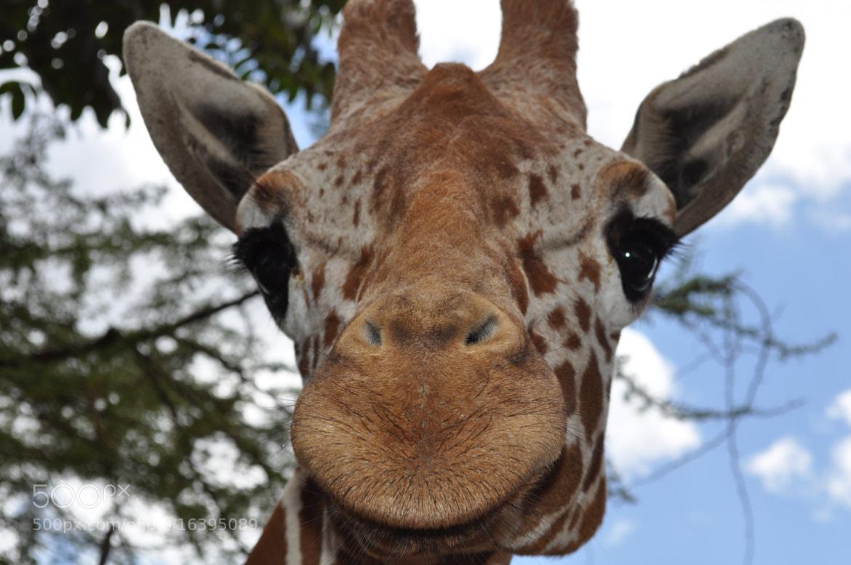 Photograph Giraffe by Olivia Dodon on 500px