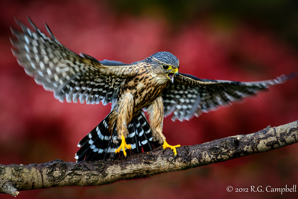 Photograph Merlin by Russ Campbell on 500px
