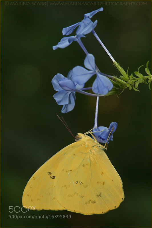 Photograph Cloudless Sulphur Butterfly on Plumbago by Marina Scarr on 500px