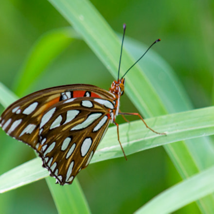 Gulf Fritillary Butterfly In, Sony SLT-A57, Tamron SP AF 200-500mm F5.0-6.3 Di LD IF