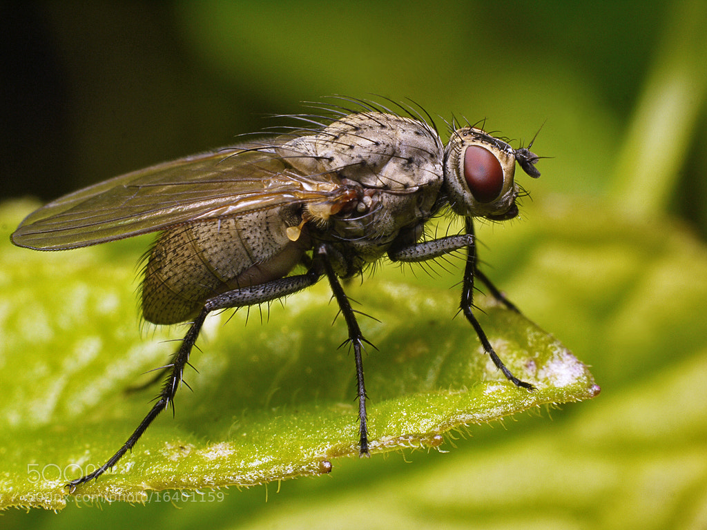 Photograph Fly closeup #1 by Michel L'HUILLIER on 500px