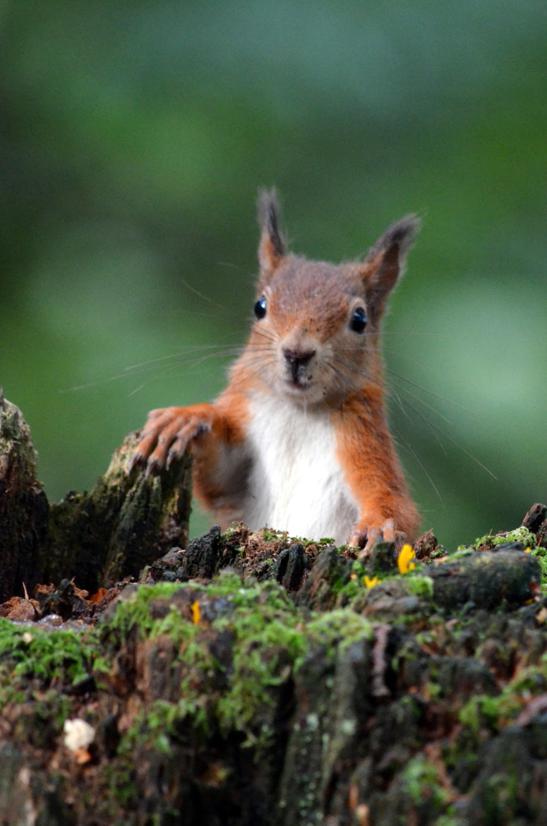 Photograph Peek a boo red squirrel  by Ryan Clark on 500px