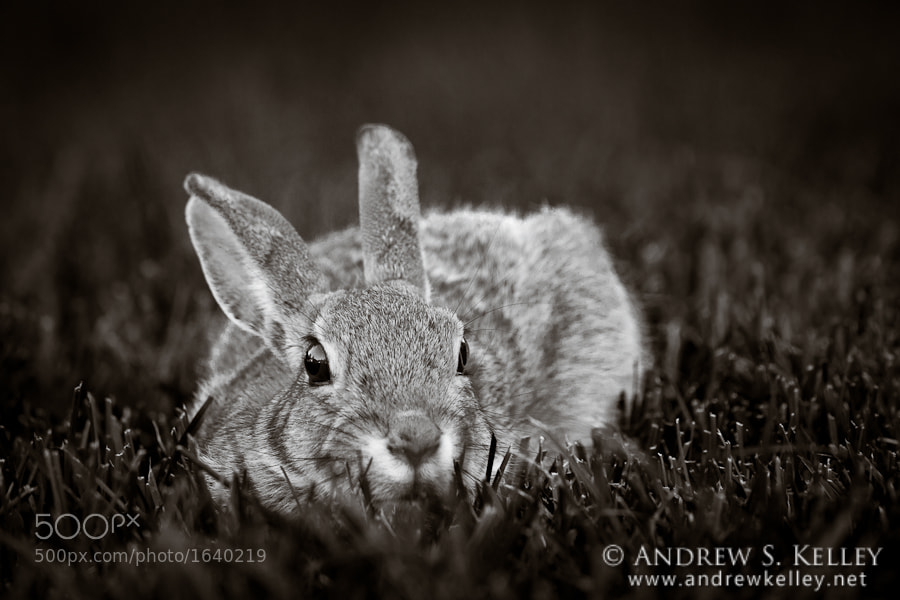 Photograph Cottontail in the Grass by Andrew Kelley on 500px
