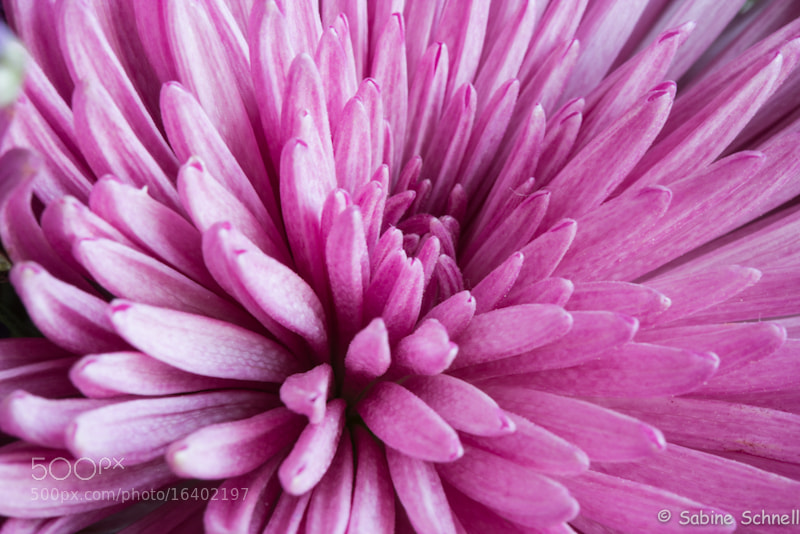 Photograph Pink explosion by Sabine Schnell on 500px