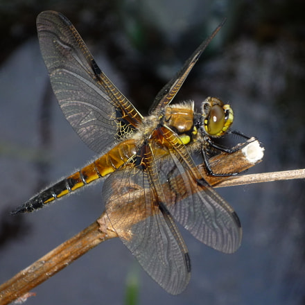 Dragonfly, Panasonic DMC-FS20