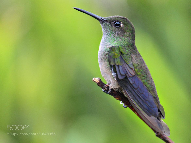Photograph Sombre Hummingbird (Aphantochroa cirrochloris) by Evandro Augusto Pereira on 500px