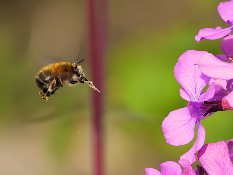 Photograph Bumblebee at work #2 by Michel L'HUILLIER on 500px