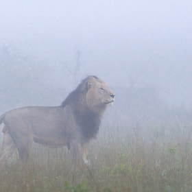 King in the Mist by Marlon du Toit (marlondutoit)) on 500px.com