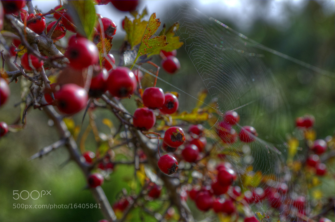 Photograph Red berries by Claudia Gadea on 500px