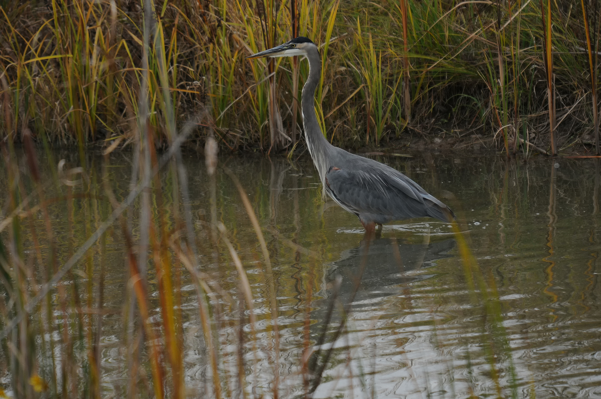 Photograph Great Blue Heron by Mark Kantner on 500px