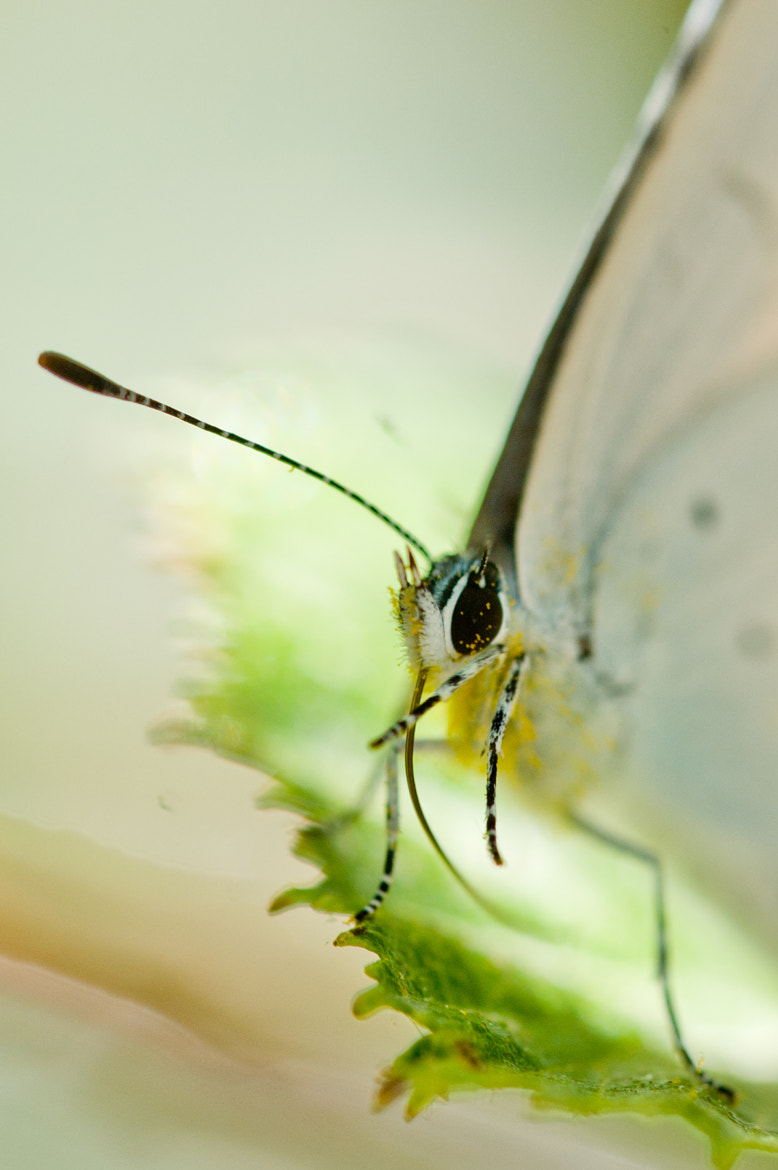 Photograph The white butterfly with pollen on its eye by Christian Cadéré on 500px