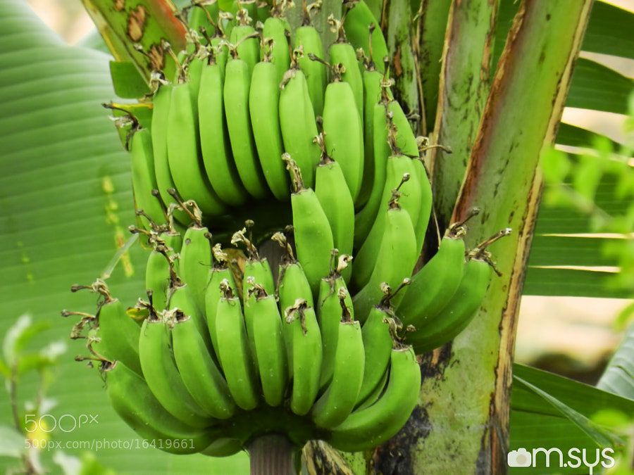 Photograph Bananas Verdes by Mauro Clemente on 500px