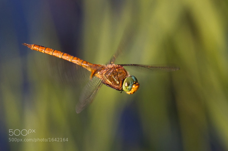 Photograph Dragon fly by Schluck Rawks on 500px