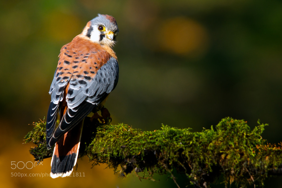 Photograph American Kestrel by Matthew Tiegs on 500px