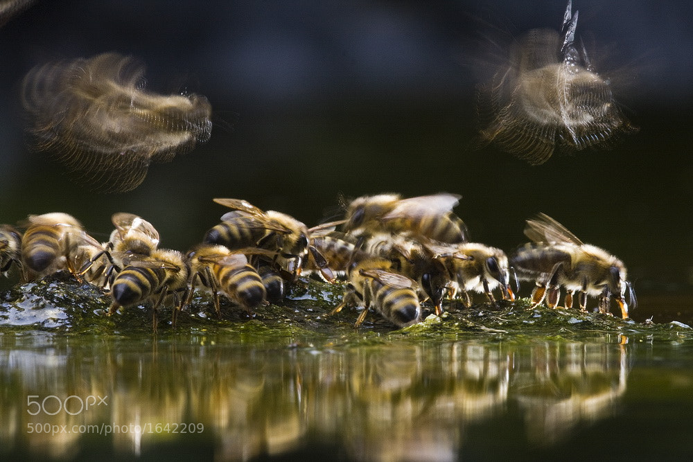 Photograph honey bee by Tibor Jakab on 500px