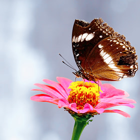 Butterfly Finding Nectar In Flower