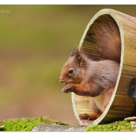 Red Squirrel by Jason Wood (jswood)) on 500px.com