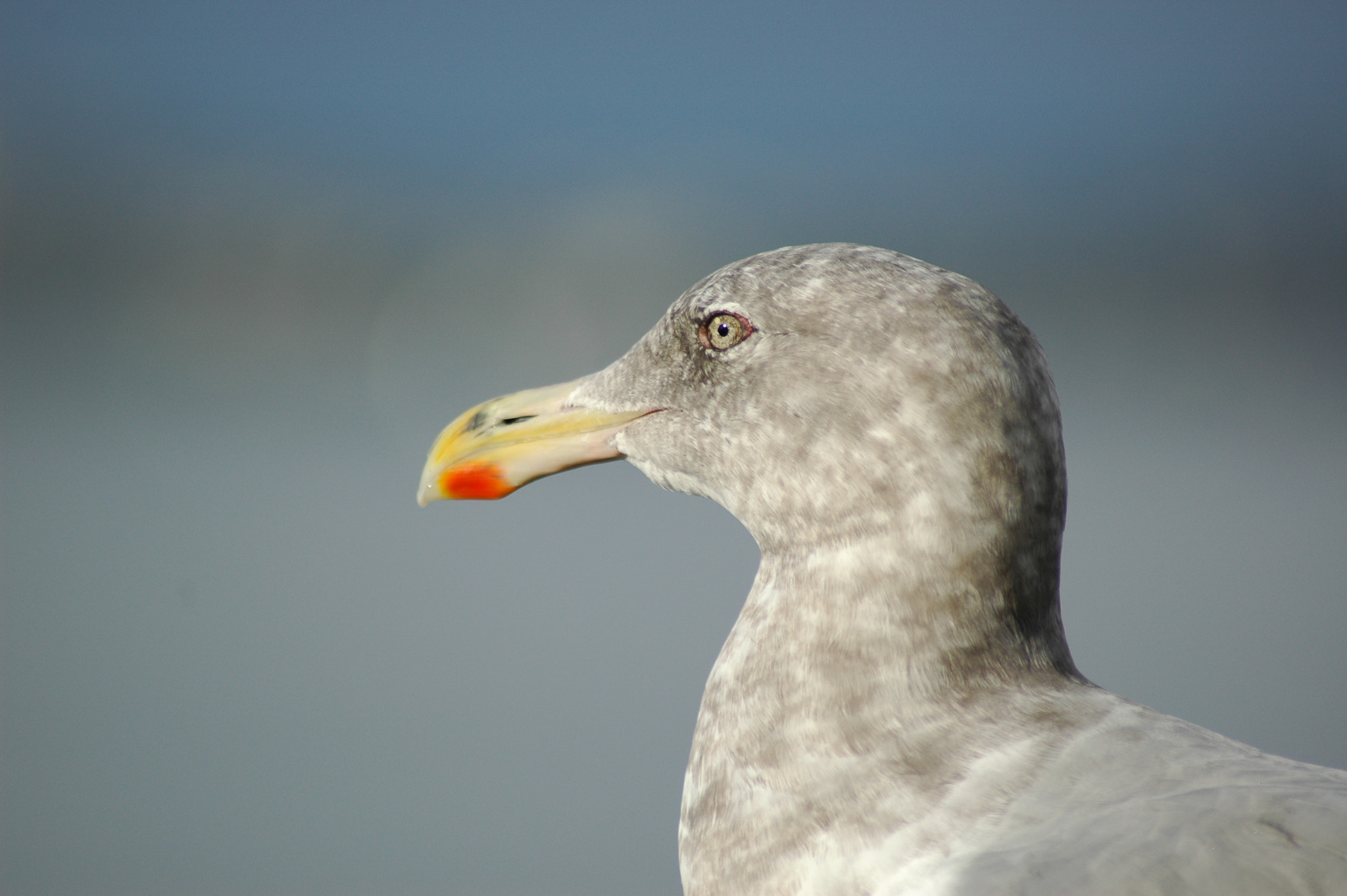 Photograph Seagull Head by Dominic Ferenczy on 500px