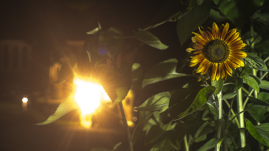 Sunflower at Night by Jeff Carter on 500px.com