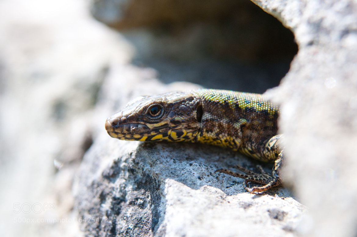 Photograph wall lizard by jamie  collyer on 500px