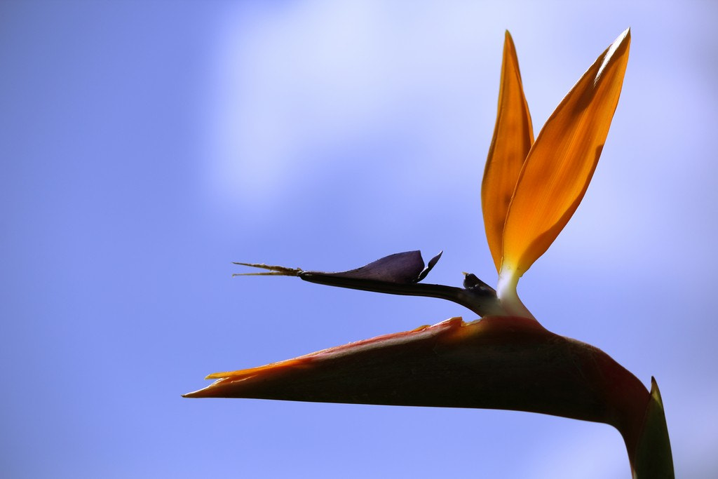 Photograph Bird of Paradise by Christopher Jones on 500px