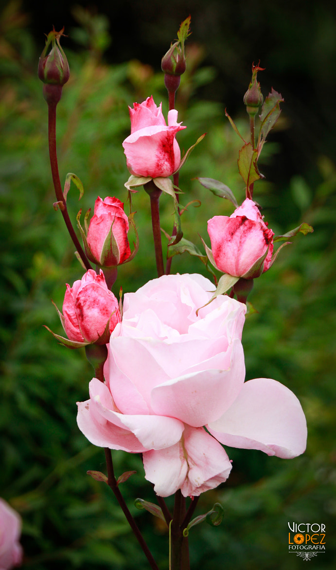 Photograph Roses by Victor Lopez on 500px