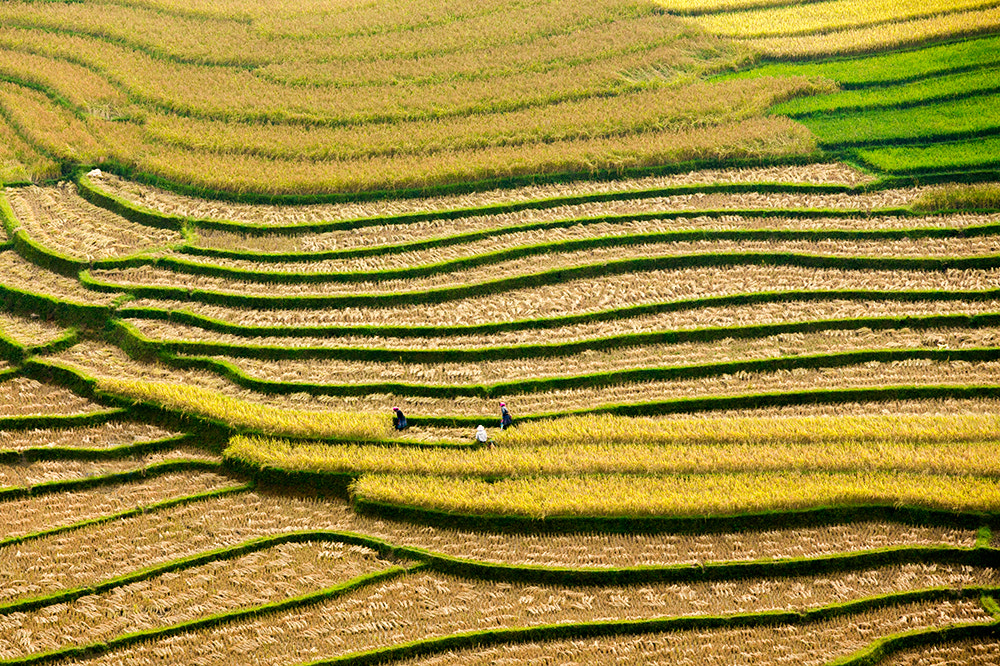 Photograph Rice harvest by Viet Hung on 500px