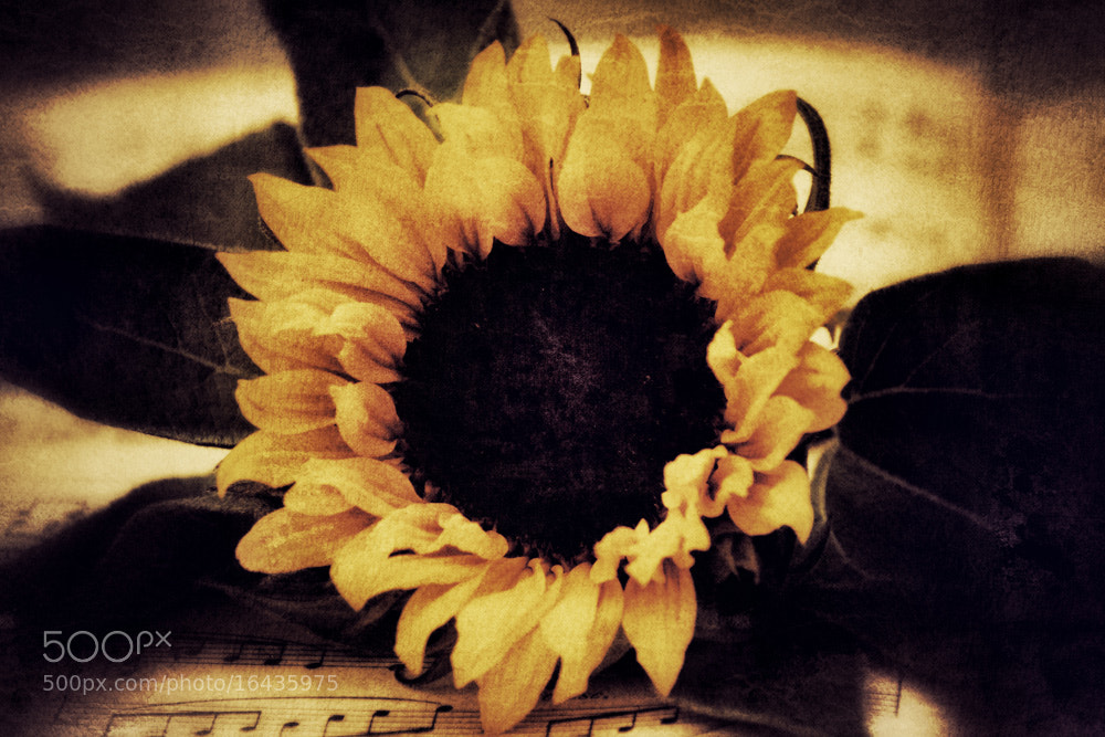 Photograph sunflower by Leila Raymond on 500px