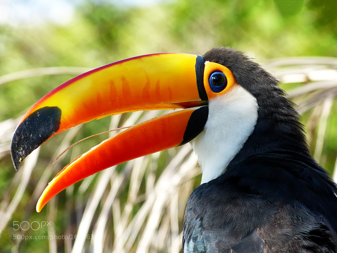 Photograph Toco Toucan by Pedro Henrique Evangelista on 500px