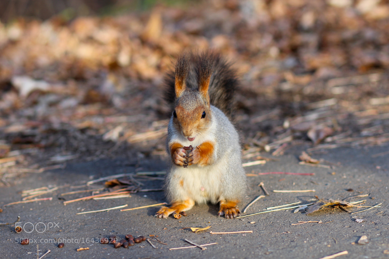 Photograph squirrel by Alexandr Kranshtapov on 500px