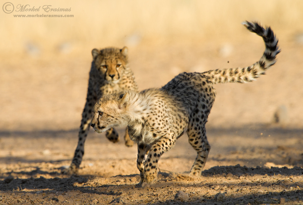 Photograph Chasing Cheetahs by Morkel Erasmus on 500px
