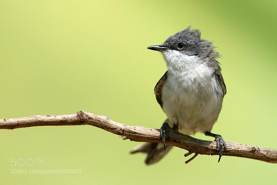 bird of kuwait
