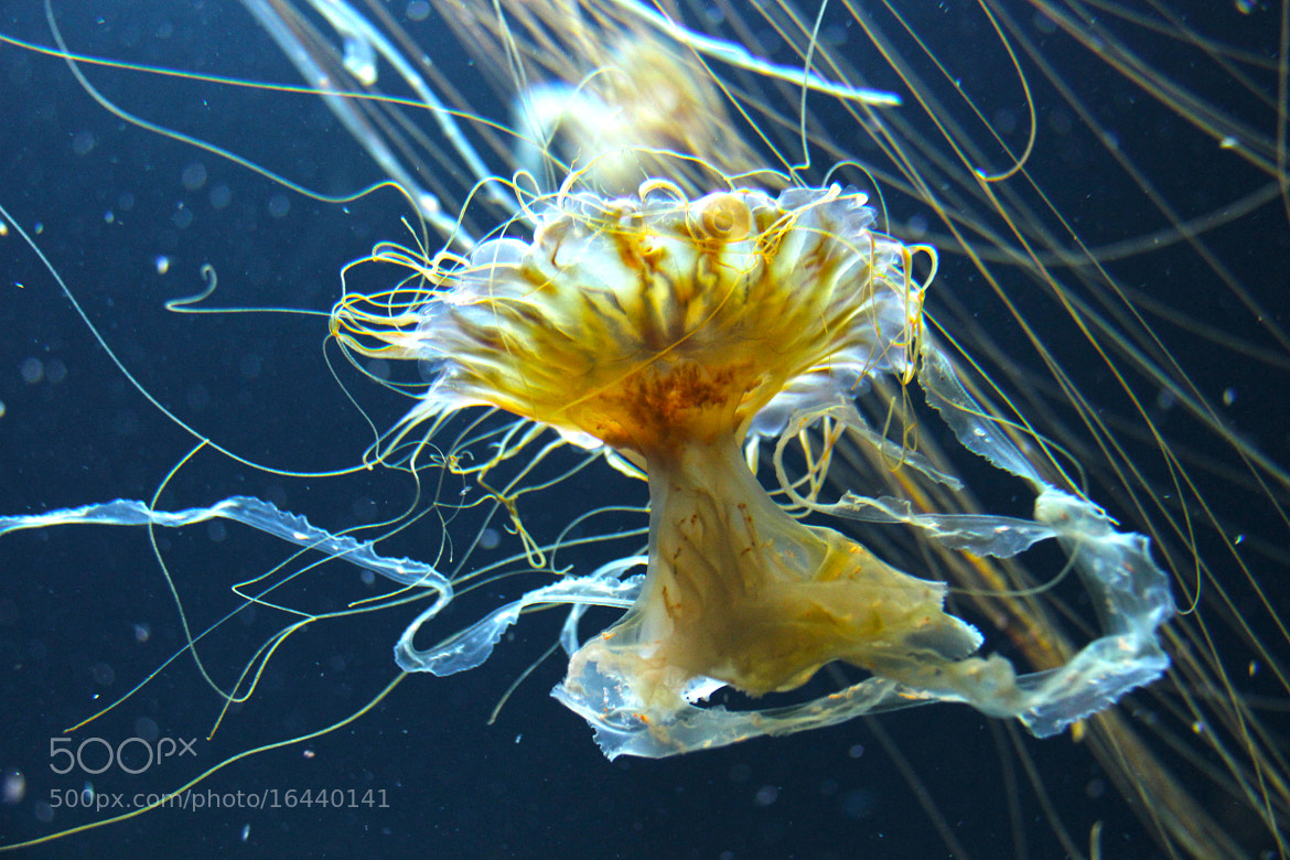 Photograph Magical Jellyfish by Kim Kestenboum on 500px