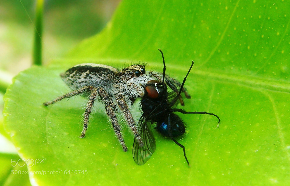 Photograph Jumping spider ..Part 3.- Capture by Ian Blöckhead on 500px